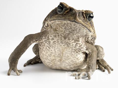 Серые жабы обычно шагают, а вот прыгать начинают, когда чувствуют опасность. Фото Getty