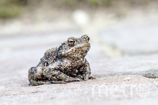 Сейчас идет миграция серых жаб через дорогу, проходящую вдоль Сестрорецкого залива. Фото Getty