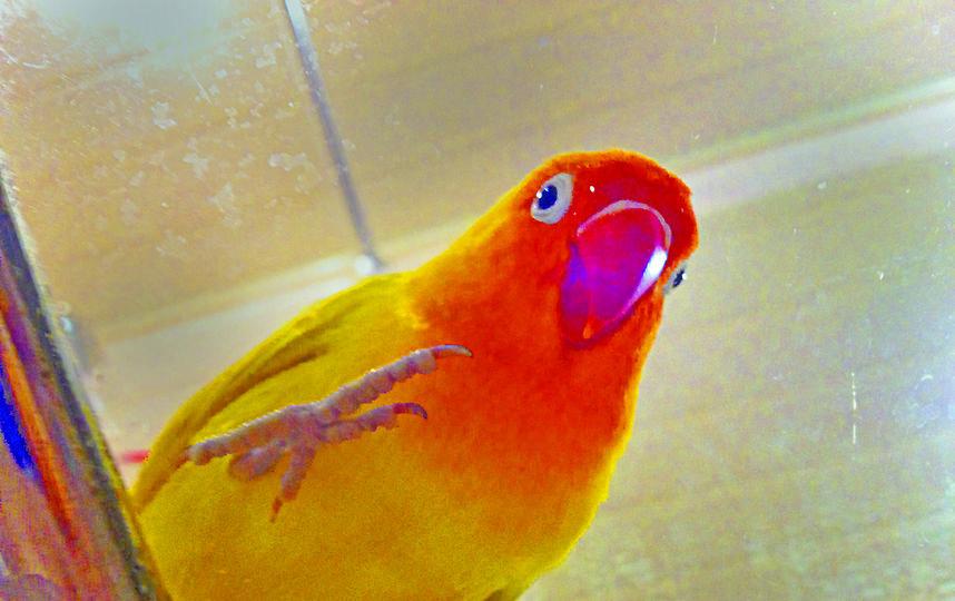 «Наш любимый питомец – попугай-неразлучник Чича. Ей ещё нет и одного года, ну оч-ч-чень активная птичка!» Арина Козьякова, 10 лет | фото из личного архива.