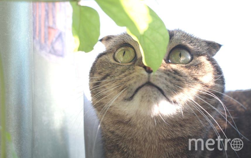Моя любимица Афина. Это шотландская вислоухая кошечка. Очень ласковая. Наталья 38 лет..