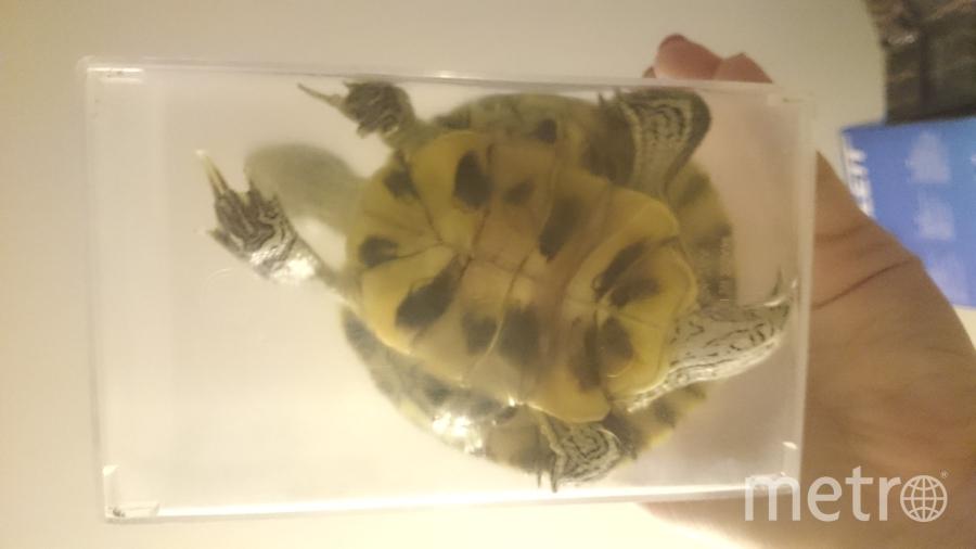 Посылаем Вам на конкурс фото нашего любимца. Это водная черепашка Коля)) Ему 1,5 года. За это время он вырос в два с половиной раза. Очень любит кушать говяжью печеночку и белую рыбу. Рысакова Екатерина..