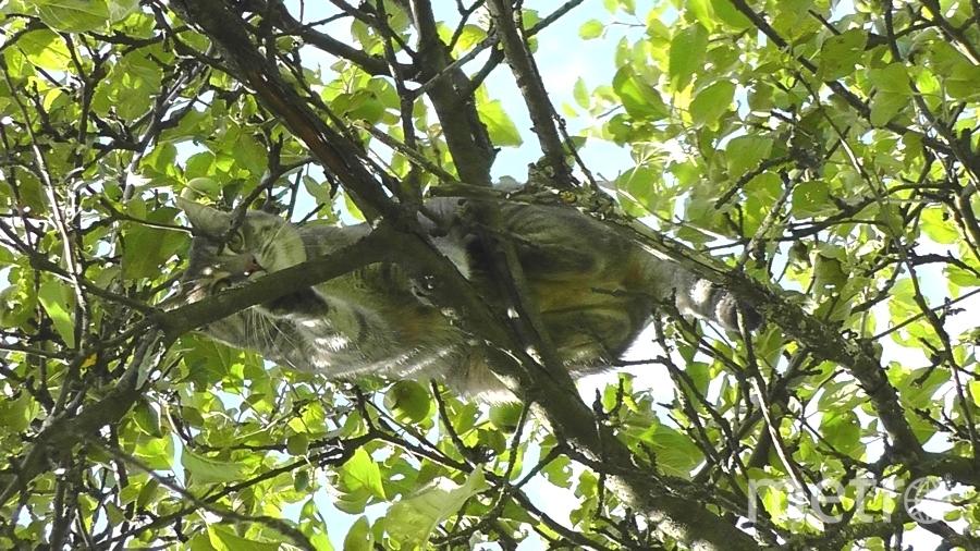 Моя кошка Пика ждёт, когда её повезут на дачу, где она вволю может набегаться, полазить по деревьям, слиться с природой так сказать. Сама себя развлекает, сама с собой играет, на ветвях старой яблони ей вполне комфортно. Фото сделано летом 2016 г.в Мурино. С/У Светлана Грекова, 51 год..