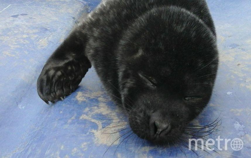 Нерпенок не выжил по дороге в Петербург. Фото Спасение тюленей, vk.com