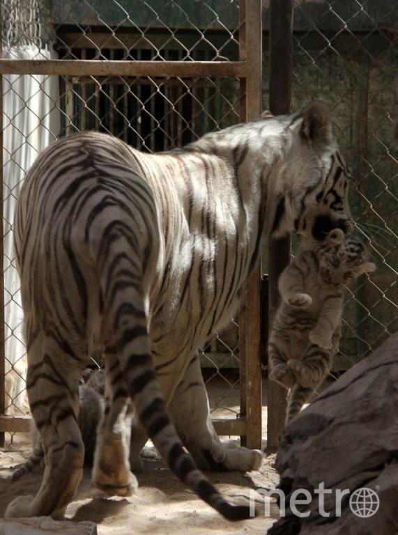 Белые тигрята с мамой Сашей. Фото AFP
