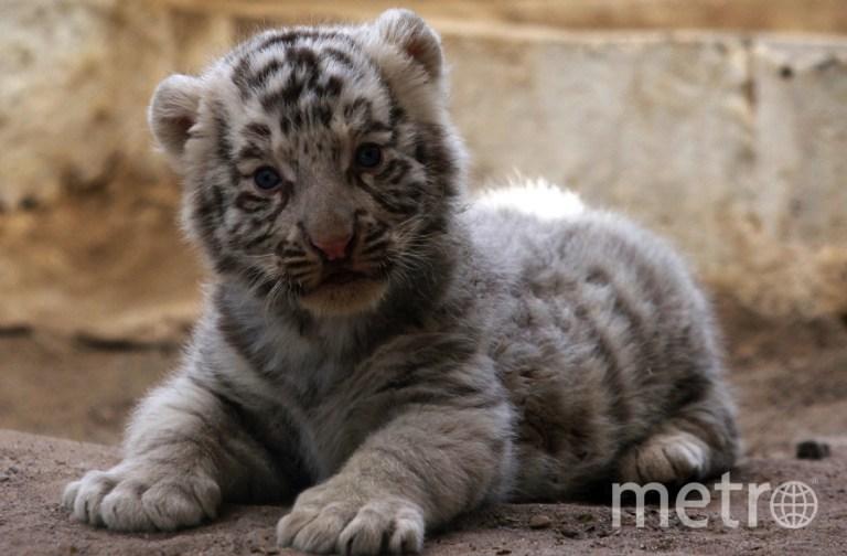 Белый тигрёнок. Фото AFP