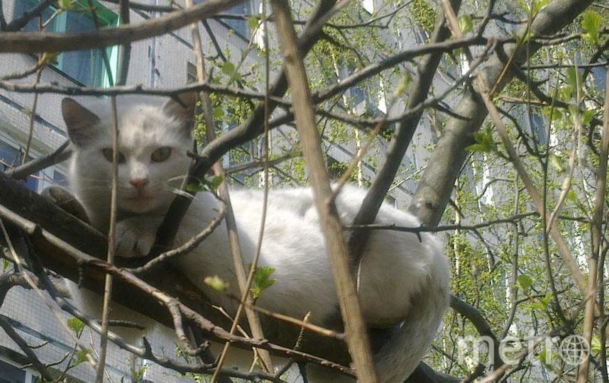Этот кот живет в нашем дворе. И весь двор его кормит. Он наш коллективный питомец :) Кот очень любит сидеть на одном дереве, рядом с домом. Даже зимой сидел там часами: все видно и в безопасности. Теперь, когда наконец наступила весна и припекает солнышко, он там иногда даже спит. Фото Алла Чиркова.
