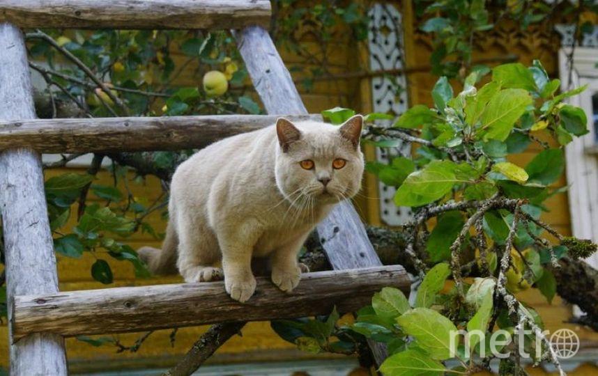 Это любимец всей нашей семьи кот Шерик(Шер Шерыч)))) Летом он живет в деревне, а когда мы приезжаем на выходные туда, он ни на шаг от нас не отходит. Наблюдает за нами. На этом фото он наблюдает как мы собираем урожай яблок. Фото Татьяна