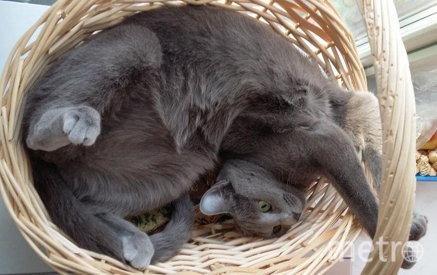 Это наша кошка Флорис породы Русская голубая. Очень доброе, любопытное и нежное создание, но очень труслива по отношению к незнакомцам. Фото Алексей, 46 лет