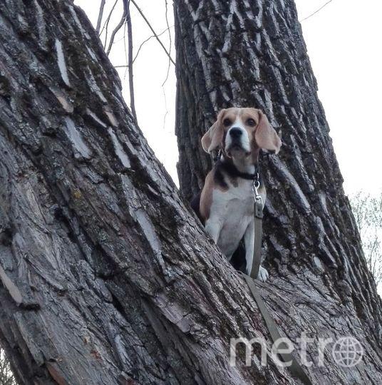 Знакомьтесь, младшая из трех наших питомцев - девчонка породы бигль по кличке Грейс. Ей 1 год и 2 месяца. На прогулке не пропускает ни одного поребрика и парапета! Вот и здесь, на фото, заняла удобную позицию на дереве и наблюдает за всеми сверху. Движение - это Жизнь, которую она свысока охватывает взглядом! Фото Ксения, 22 года