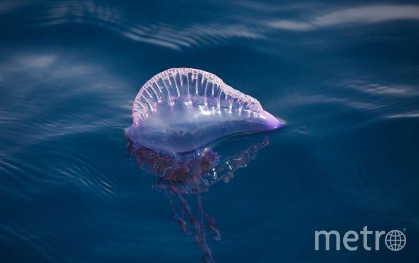 Physalia physalis. Фото Getty