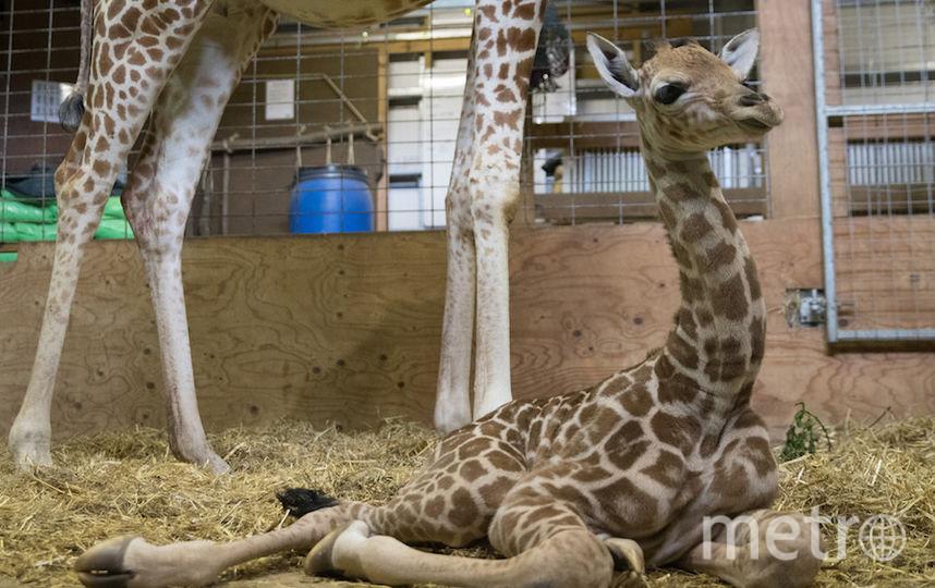 Жираф, перед которым невозможно устоять. Фото Getty