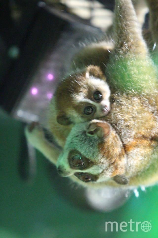 Милашки лори с огромными глазами родились в московском зоопарке. Фото пресс-служба зоопарка.