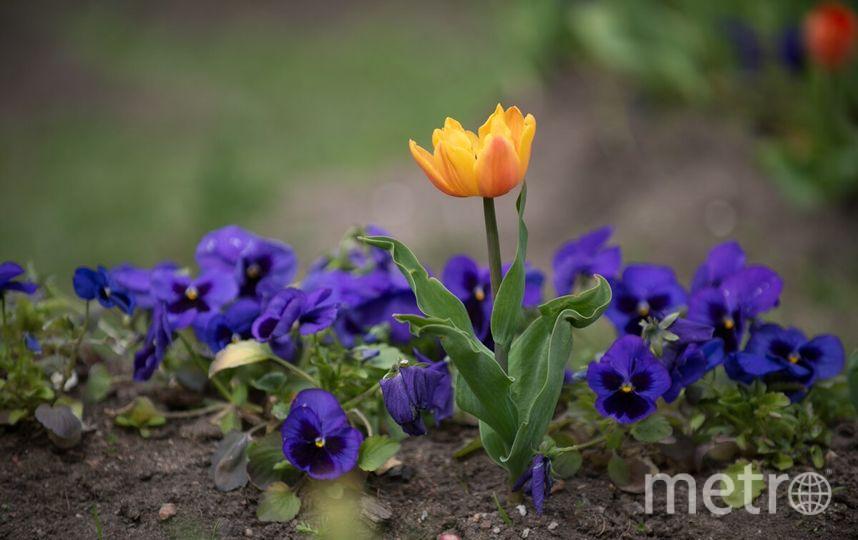 ВПетербурге наФестивале тюльпанов высадили 120 различных видов цветов