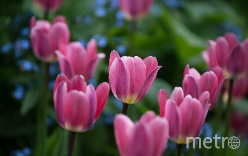 В День города в Петербурге открылся фестиваль тюльпанов.