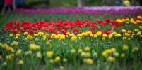 В Петербурге в День города открылся фестиваль тюльпанов