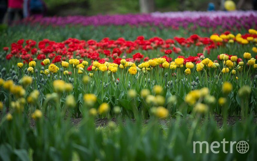 НаФестивале тюльпанов демонстрируют новые сорта