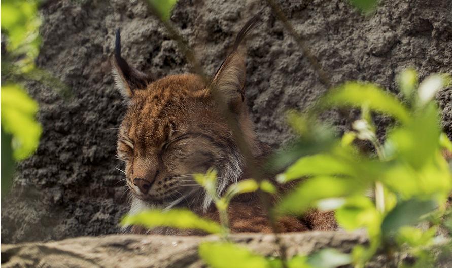 Впервые за 10 лет в Московском зоопарке родились рысята. Фото mos.ru