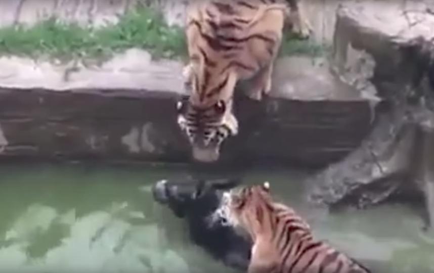 Тигры убивают осла в китайском зоопарке. Фото Скриншот Youtube