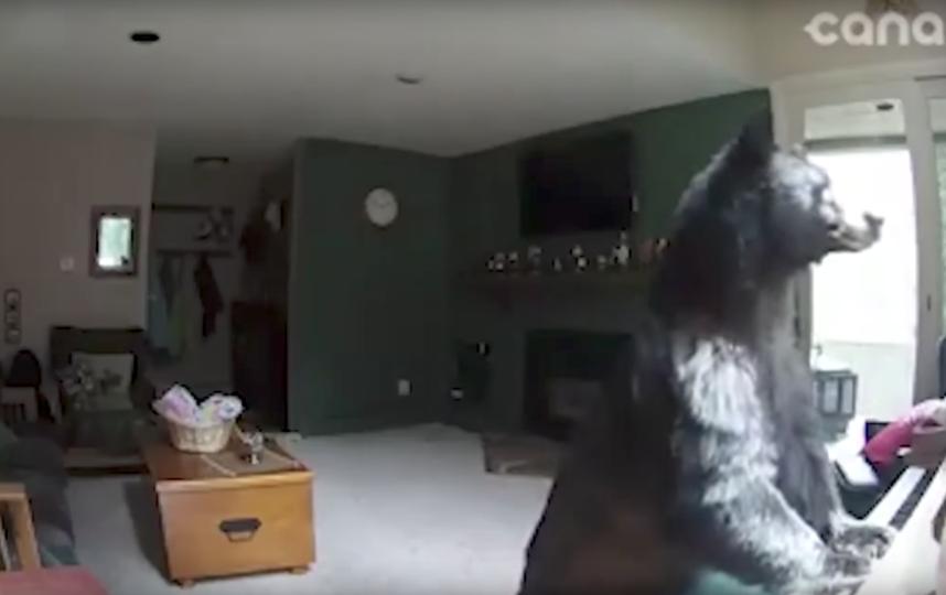 В США медведь влез в дом и сыграл на фортепиано. Фото Storyful Rights Management, Скриншот Youtube