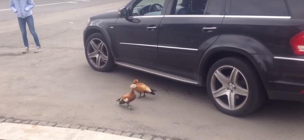 Огари крутились вокруг машины, куда погрузили птенцов, но сами туда лезть не желали. Фото Скриншот Youtube
