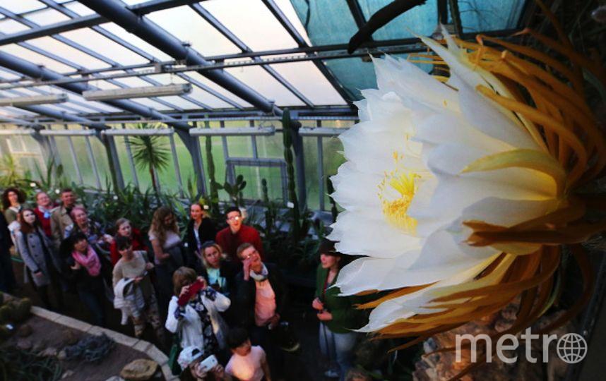 """В петербургском Ботаническом саду расцветёт """"сестра"""" Царицы ночи. Фото Getty"""