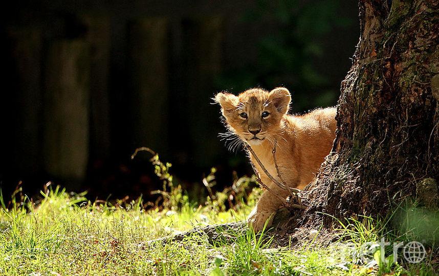 Живого львенка обнаружили вкальянной вцентре столицы