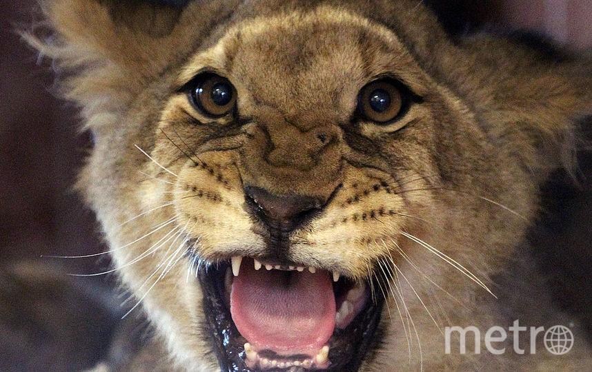 В кальянной в центре столицы обнаружили маленького львёнка. Фото Getty