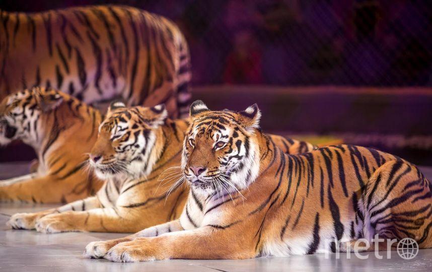 Хищники. Фото предоставлены Цирком.