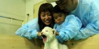 Японцы могут пообщаться с редкими белыми львятами: фото