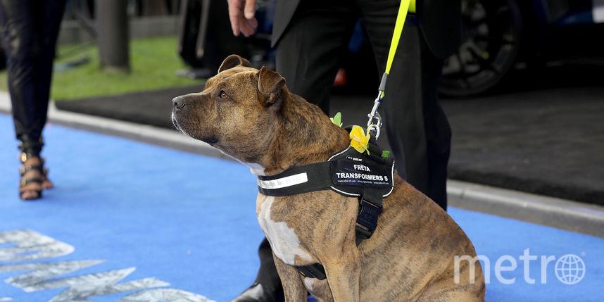 На премьеру Трансформеров-5 пришла собака Фрейя, снявшаяся в кино. Фото Getty