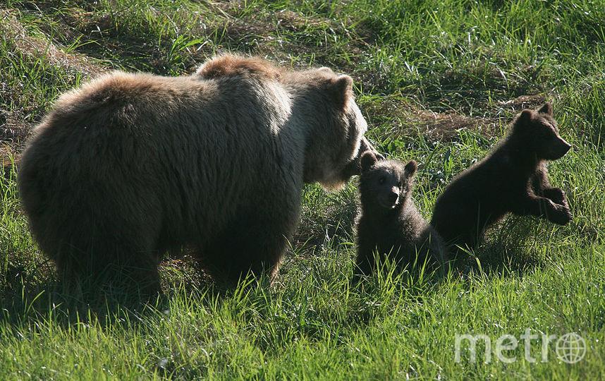 В столицеРФ отыскали медвежонка, некоторое количество дней просидевшего взакрытой машине
