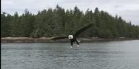 Орёл спикировал на канадца и обокрал его — Видео