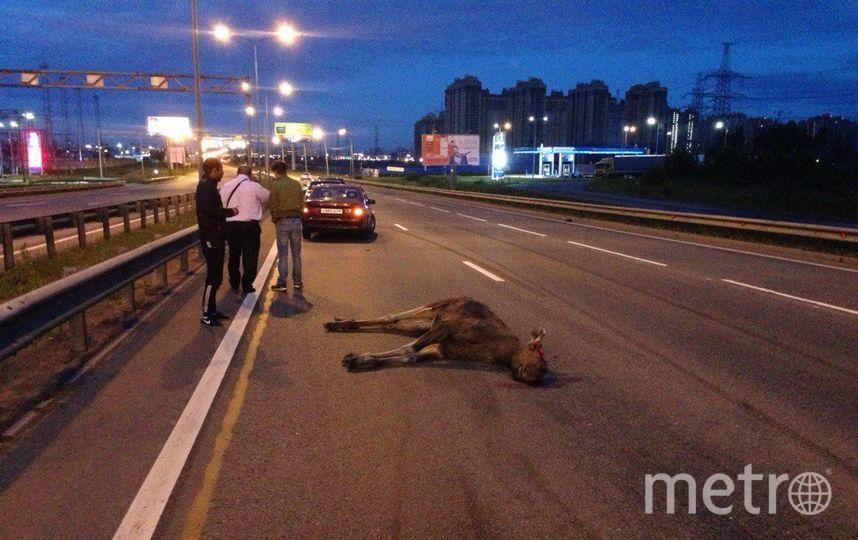 Лосёнка на Энгельса сбила иномарка. Фото vk.com