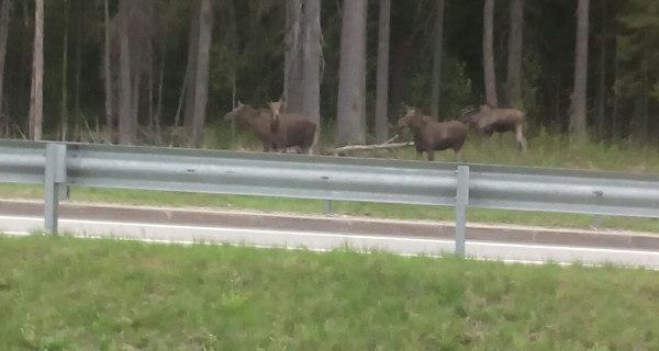 Фото лосей, которых видели утром 26 июня у Меги-Парнас.