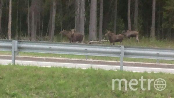 Фото лосей, которых видели утром 26 июня у Меги-Парнас. Фото vk.com