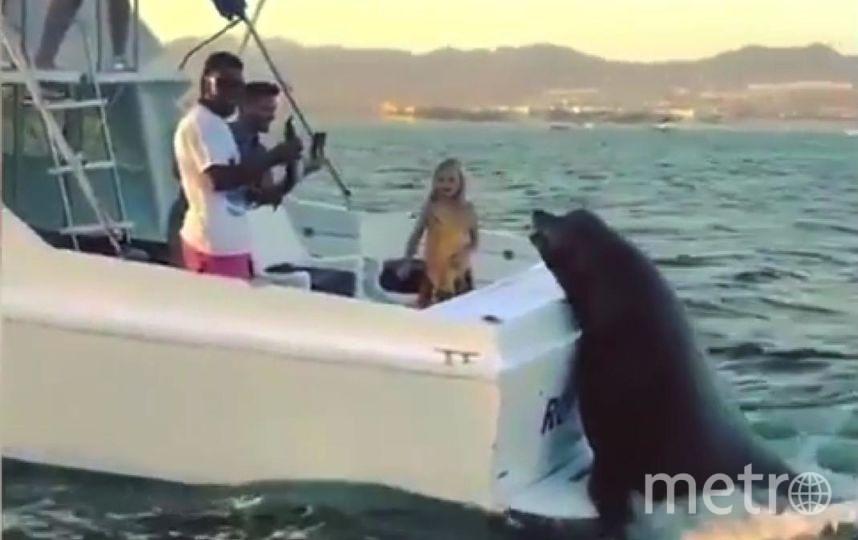Огромный тюлень забрался на движущуюся моторную лодку.