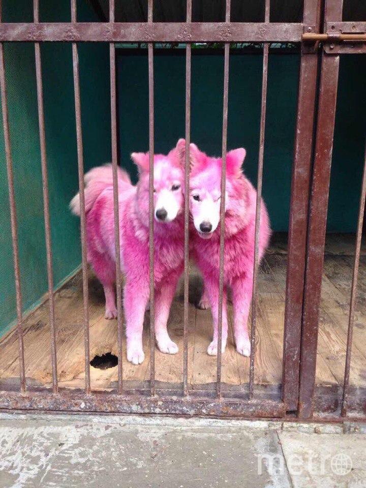 Покрашенные собаки. Фото предоставлены фондом Husky Help
