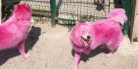 Спасённых розовых собак приютят в Москве