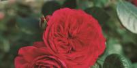Москвичам впервые представят гибридный сорт розы