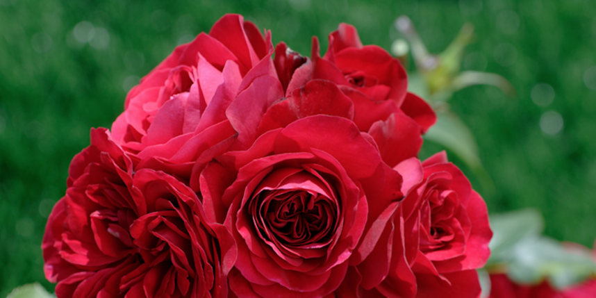 """Гибридный сорт розы. Фото Василий Кузьмичёнок, """"Metro"""""""
