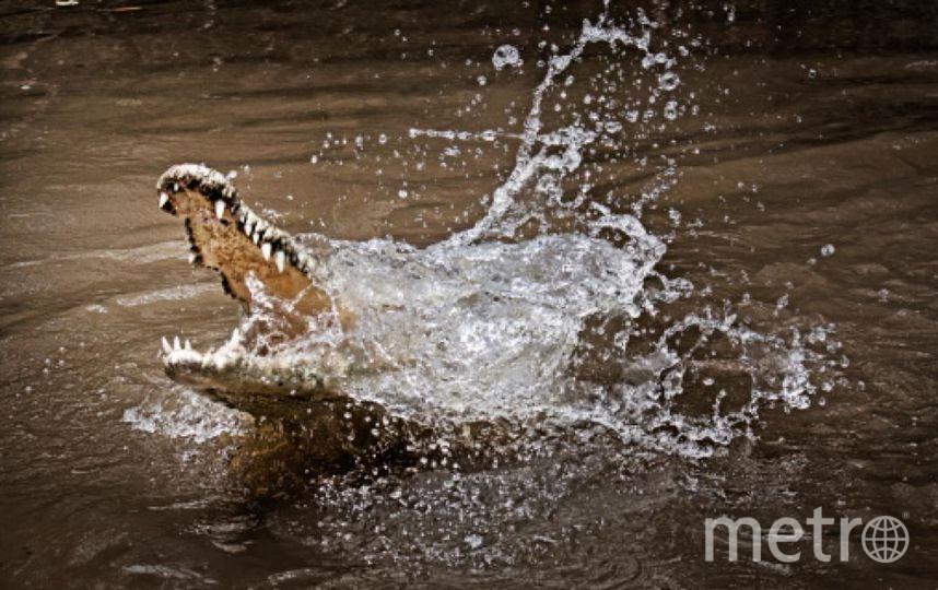 Крокодила на поводке искупали в Чёрном море. Фото Getty