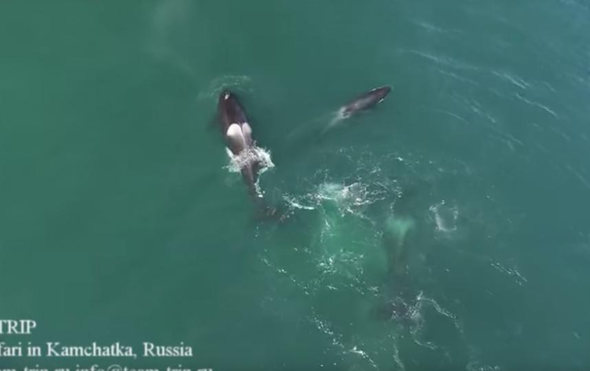 Вглобальной паутине размещена запись нападения косаток на12-метрового кита