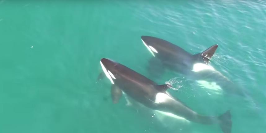 Косатки нападают на кита. Фото Скриншот Youtube