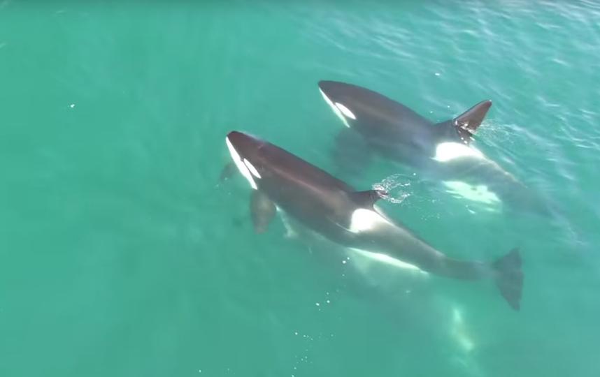 Ученые уКамчатки впервый раз сняли нападение косаток на12-метрового кита