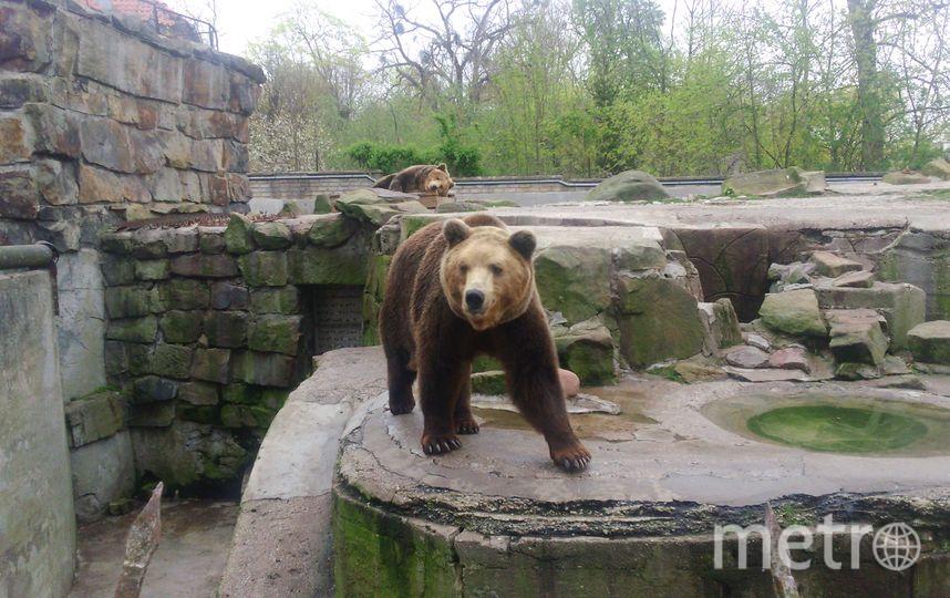 "Бурые медведи Калининградского зоопарка. Фото Анна Егорцева, ""Metro"""
