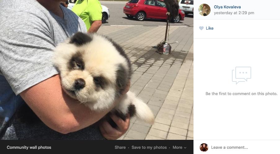 """Чау-чау выдавали за детёныша панды. Фото """"ВКонтакте"""""""