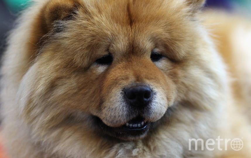 Собака породы чау-чау. Фото Getty