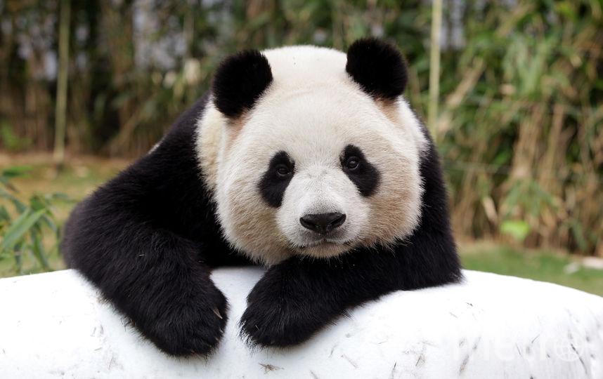 Панда. Фото Getty