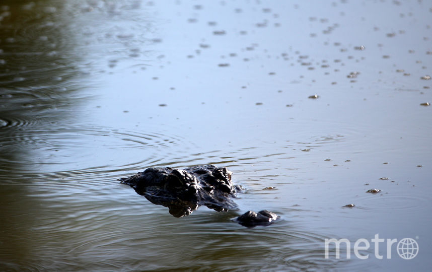 Авиакатастрофа воСША: пилота упавшего самолета съел крокодил