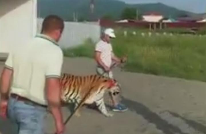 Тигр гулят по пляжу в Находке. Фото Скриншот Youtube